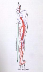 De beenzenuw loopt van je voetzool naar je bekken en geeft belangrijke informatie aan je ruggengraat.